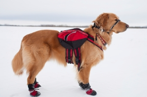 Golden with snow boots